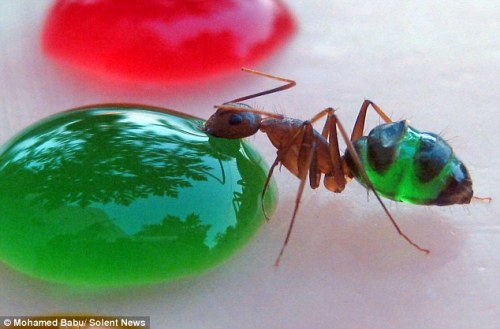 close-up photo: ant with translucent green abdomen eating green sugar solution